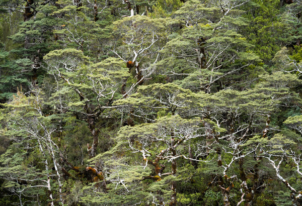 Beech Trees in Arthurs Pass